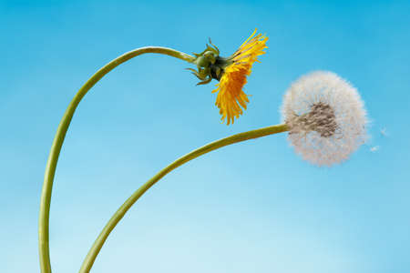 Couple of loversdandelions leaned into each others embrace.. The concept of love, dance and romance