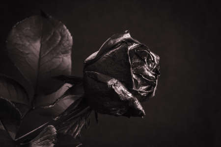 Black Rose. Concept, symbol of sorrow, melancholy and sad mood. Depression, farewell and love. St. Valentines Day Stock Photo