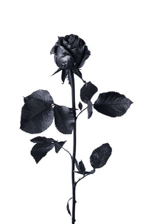 Black rose isolated on white background close-up Banco de Imagens