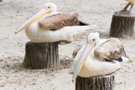 Cute white pelicans with big beak closeup Stock Photo