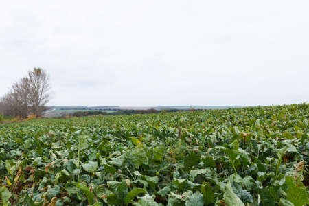 Agricultural field on which grow beet in drought, sluggish beet, close-up Banco de Imagens - 84393429