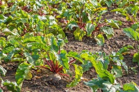 Rows of sugar beet in field. Rural scene. Crop and farming Stok Fotoğraf