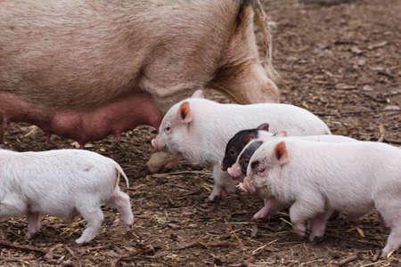 肥沃な種をまくし、ファームにミルクを哺乳子豚