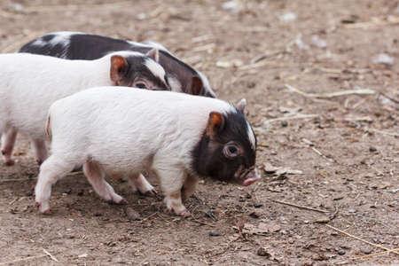 Cute little piglets running around on the farm