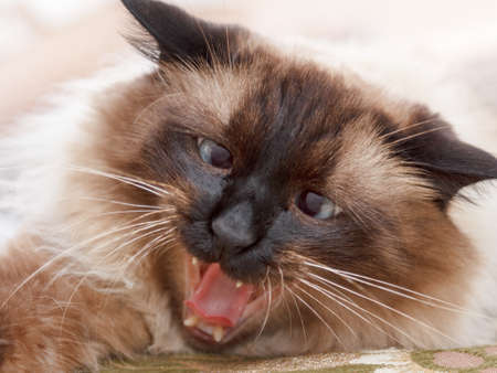 Beautiful balinese cat portrait with blue eyes close up Stock Photo