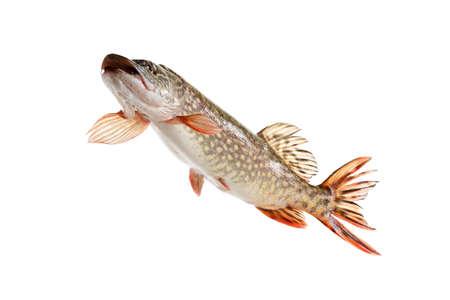 Fish carp isolated swim on white background.