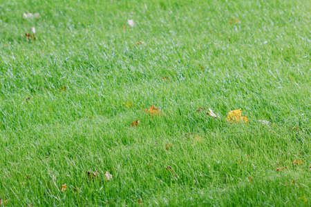 Yellow autumn leaf on a green meadow grass in the morning