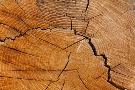Wooden stump isolated background. Round cut down tree with annual rings as a wood texture with a crack.