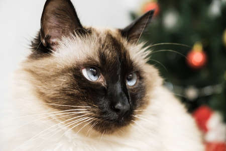 Blue eyed siam lazzy cute pet cat face Stock Photo
