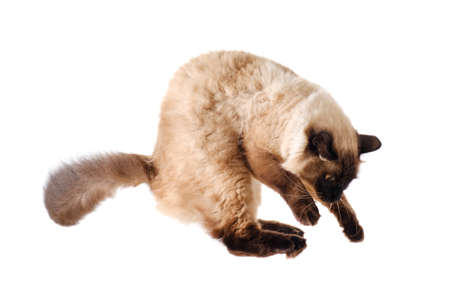 portrait of a cute flying fluffy Balinese cat, isolated white bsckground