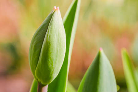Green Tulip bud growing abstract background. Nature awakening, first flowers, thaw, looking for spring concept