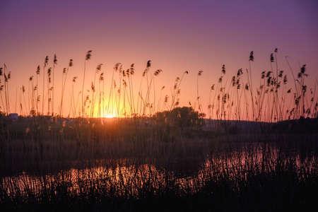 석양 햇빛에 강 근처 전경에서 갈 대. 햇빛에 강에 마른 갈대. 강둑에 저녁. 황금 지팡이. 몸매 사진. 스톡 콘텐츠 - 101350550