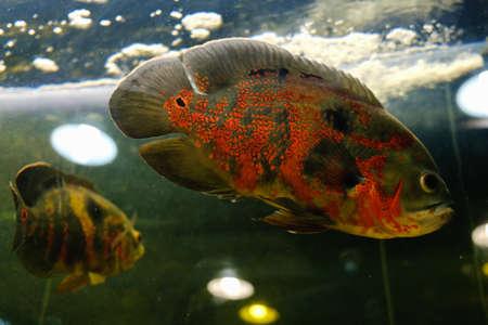 Oscar fish Astronotus ocellatus swimming underwater aquarium