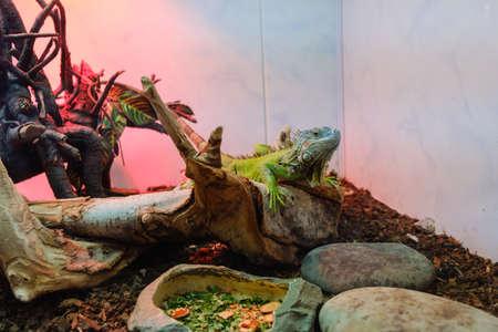 Green Iguana on branch, reptile animal lizard close up