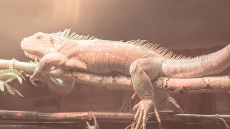 Orange Iguana on branch, reptile animal lizard close up Stock Photo - 107269854
