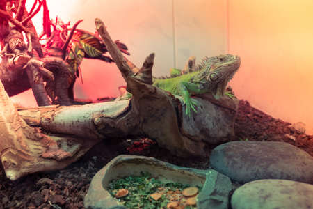 Green Iguana on branch, reptile animal lizard close up Stock Photo - 108856788