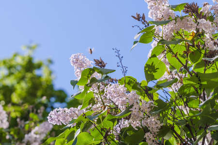 Lilac branch blossoming flower background and blossom spring,  floral beautiful.