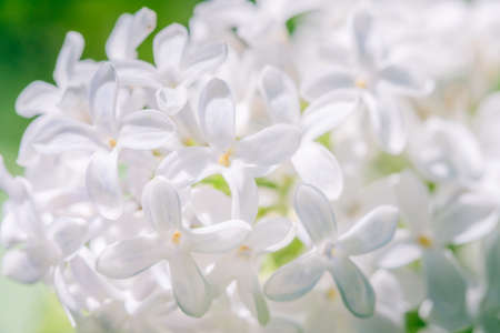 Lilac branch blossoming flower background and blossom spring,  plant violet. Archivio Fotografico