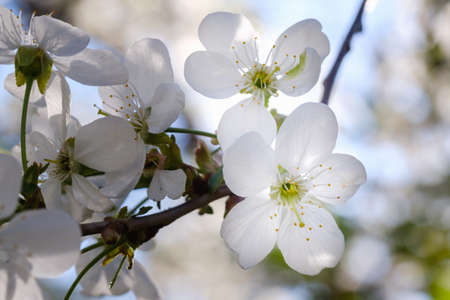 White cherry blossoms in spring sun with blue sky background