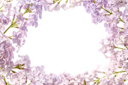 Lilac branch blossoming flower isolated on white background,  spring floral.