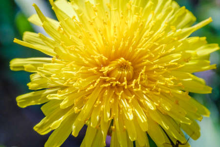Yellow dandelion macro close up flowers on background of green spring meadows field in park. Archivio Fotografico