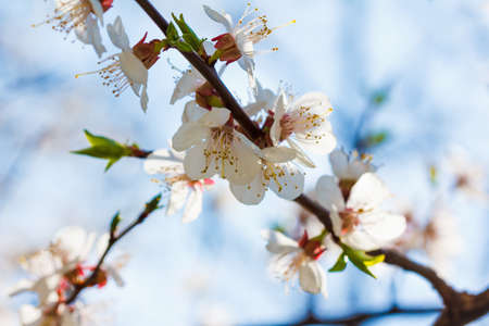 Auf den Bäumen blühen Frühlingsblumen. Makroaufnahme eines Parks oder Gartens Standard-Bild