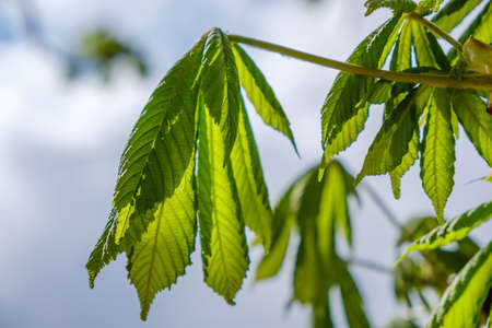 Chestnut Tree Twig, Fresh Green Leaves in Early Spring, against sky