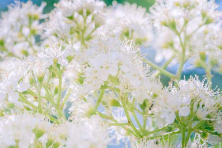 branch of blooming flower bird cherry in front of blue sky. Copy space Zdjęcie Seryjne