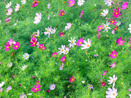 daisy flower pink blossom beautiful floral petal. nature.