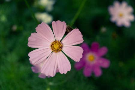 daisy flower pink blossom beautiful floral petal. fresh.