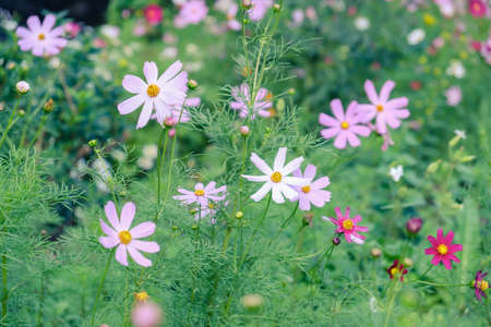 daisy flower pink blossom beautiful floral petal. colorful nature. 版權商用圖片