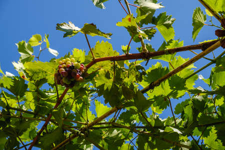 Ripe grapes hung on vineyards of grape trees. In the morning vineyard. Stock Photo