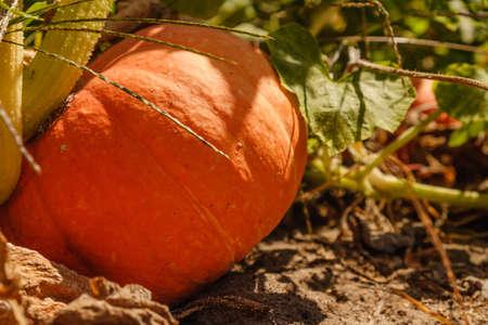big orange pumpkin growing on a bed, harvest pumpkin, pumpkin for baby food close up Stock Photo