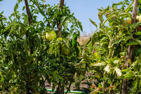 giant tomatoes growing on the branch