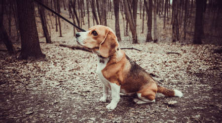 Portrait of a Basset Hound outdoors in the park