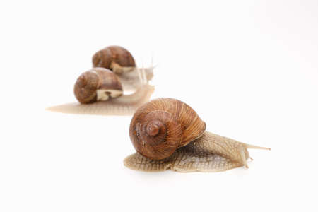 snail white background animal brown food isolated. slimy.