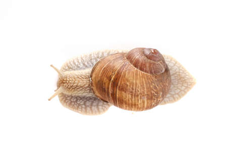 snail white background animal brown food isolated. closeup.