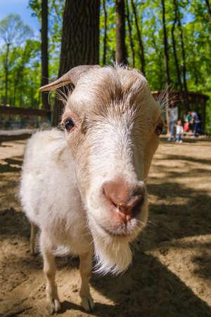 Goat animal farm mammal domestic farmland nature, farming.