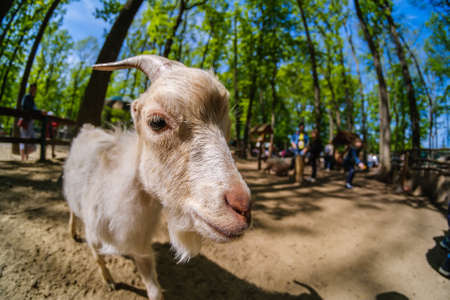 Goat animal farm mammal domestic farmland nature, horn.