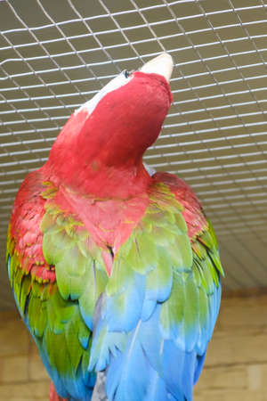 Colorful red parrot sits on a branch in a cage. Feathered jungle