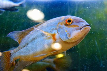 Exotic tropical fish closeup swimming underwater aquarium
