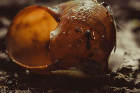 Big ants eat prey by snail in colony, macro close up