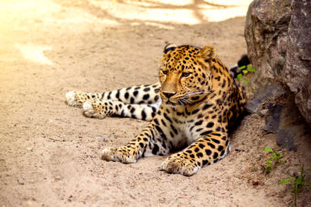 A beautiful leopard lies on the ground and bask in the sun