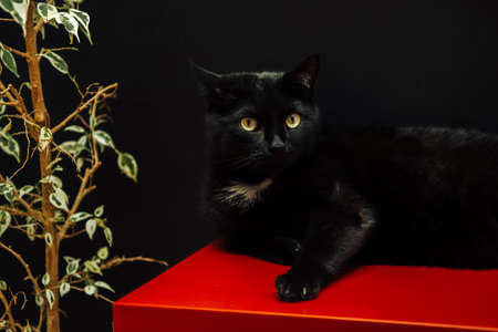 Black domestic cat on a black wall background looks at the camera