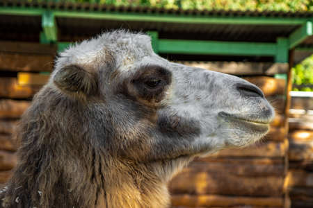 Adult camel head close up, camel in the zoo. High quality photo
