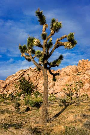 joshua: Joshua Tree, yucca. mountains in the back.