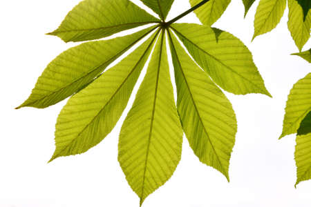 back lighting: Translucent horse chestnut textured green leaves in back lighting on white sky background with sun shine flare full leaf