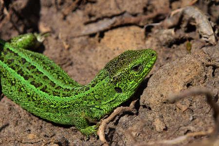 insolaci�n: Dragones est�n de vuelta 2 acecho lagarto verde entre las piedras ca�das hojas y ramitas en una vista de giro lateral