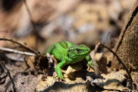 insolaci�n: Dragones est�n de vuelta lagarto verde acecho entre las piedras ca�das hojas y ramitas vista frontal Foto de archivo