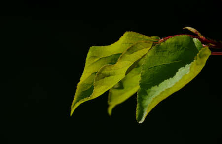back lighting: Group of three apricot tree leaves in back lighting on a black background Stock Photo